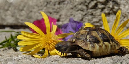 Little turtle and flowers stock photo, Beautiful little turtle herman with colorful flowers by Bonzami Emmanuelle