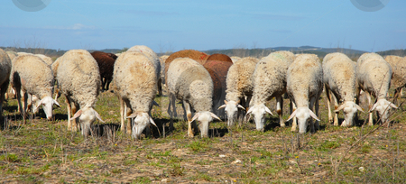 Herd of sheeps stock photo, A herd of sheeps grazing in a field by Bonzami Emmanuelle