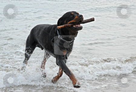 Rottweiler playing in the sea stock photo, Rottweiler playing in the sea with a stick by Bonzami Emmanuelle
