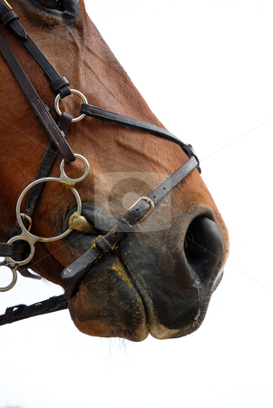 Bridle stock photo, A close up of horse mouth on a white background by Bonzami Emmanuelle