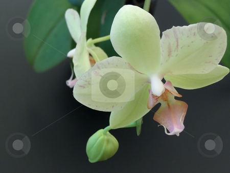 Orchid stock photo, Yellow orchid flowers at the black background by Sergej Razvodovskij