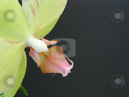 Orchid flower stock photo, Yellow orchid flowers at the black background by Sergej Razvodovskij