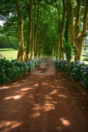 Path stock photo, Path with tree on two side in azores by Rui Vale de Sousa