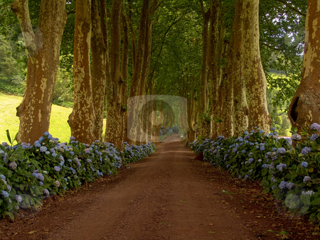 Flowers stock photo, Path with tree on two side in azores by Rui Vale de Sousa