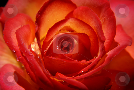 Rose stock photo, Macro of a red rose with soft light by Rui Vale de Sousa