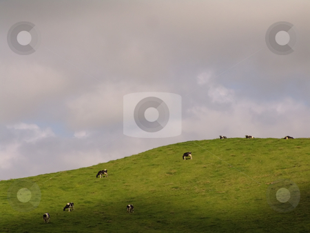 Cows stock photo, Azores cows farm by Rui Vale de Sousa