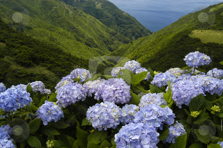 Flowers stock photo, Azores natural flowers by Rui Vale de Sousa
