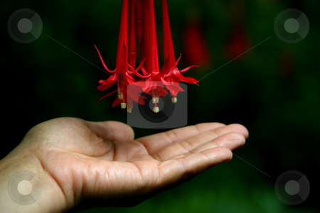 Love stock photo, Flower in her hand by Rui Vale de Sousa