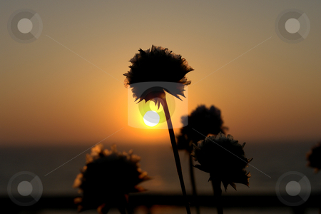 Sunset stock photo, Flowers at the sunset by Rui Vale de Sousa
