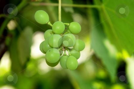 Grapes stock photo, Green grapes detail by Rui Vale de Sousa