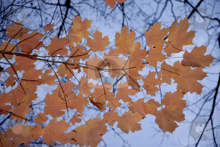 Autumnal stock photo, Autumnal leaves detail with the blue sky as background by Rui Vale de Sousa