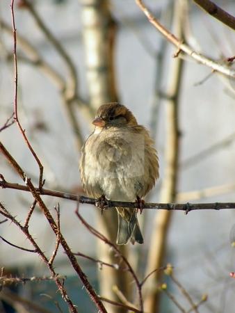 Sitting sparrow stock photo, Wild sparrow sitting at the branch of the tree by Sergej Razvodovskij