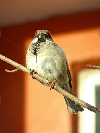 Sparrow stock photo, One wild sparrow sitting at the branch by Sergej Razvodovskij