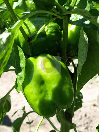 Growing Young Pepper stock photo, Beautiful green bell peppers growing on a vine in a garden by Robert Gebbie