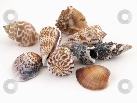 Sea Shells on White stock photo, Various types of sea shells isolated on a white background. by Robert Gebbie