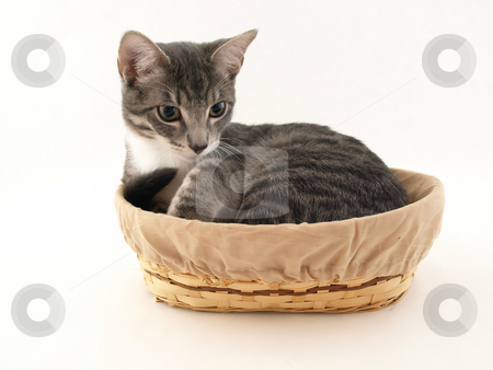 Gray Kitten in a Basket stock photo, A gray kitten snuggled in a tan basket isolated on a white background by Robert Gebbie