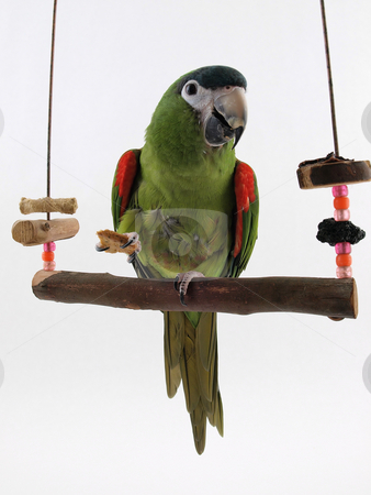 Macaw on a Perch stock photo, Miniature Noble Macaw on an isolated white background, eating a cracker. by Robert Gebbie