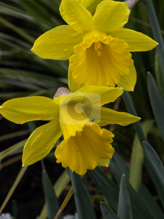 Daffodils stock photo, A pair of yellow narcissus trumpet daffodils in their natural environment. by Robert Gebbie