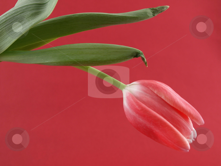 Pink Tulip stock photo, A single pink tulip over a red background by Robert Gebbie