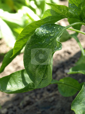 Wet Leaves stock photo, Raindrops bead on a green leaf in a vegetable garden by Robert Gebbie