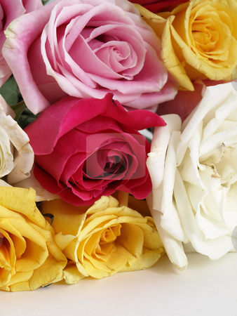 Blooming Roses stock photo, A beautiful bouquet of open roses laying on a white surface. by Robert Gebbie