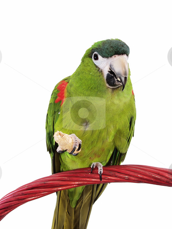 Miniature Noble Macaw stock photo, Miniature Noble Macaw on an isolated white background, eating a cracker. by Robert Gebbie