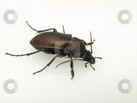 Violet Ground Beetle stock photo, A Violet Ground Beetle (Carabus Violaceus) studio isolated on a white background. by Robert Gebbie