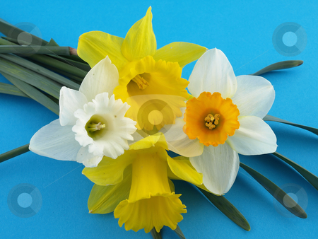 Daffodils on Blue Background stock photo, Beautiful yellow and white narcissus daffodils arranged over a blue background. by Robert Gebbie