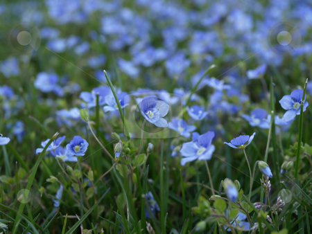 Forget Me Nots stock photo, A field of blue Forget me nots and green grass by Robert Gebbie