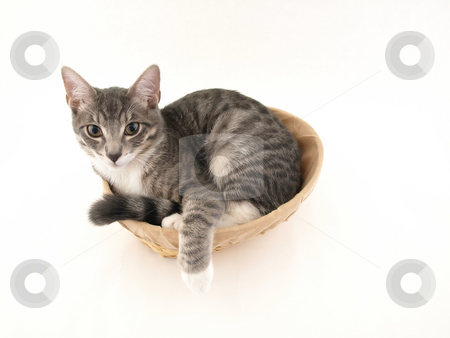 Cat in the Basket stock photo, A young kitten curled up in a basket isolated on a white background by Robert Gebbie