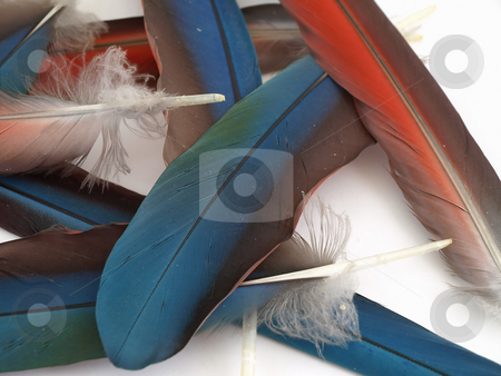 Loose Macaw Feathers stock photo, Blue and red feathers from a Green Wing Macaw. Isolated over white. by Robert Gebbie