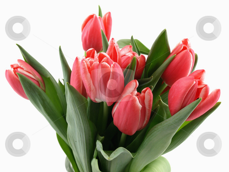 Tulip Bouquet stock photo, Beautiful pink tulips in a bunch over a white background by Robert Gebbie