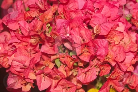 Bougainvillea stock photo, Bougainvillea is a genus of flowering plants native to South America from Brazil west to Peru and south to southern Argentina by Mariusz Jurgielewicz