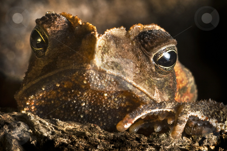 Crested toad stock photo, Crested toad (Rhinella margeritifera) ion the floor of the Bolivian rainforest hiding in Brazil nut shell by Dirk Ercken