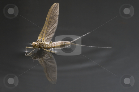 Adult maefly stock photo,  by Dirk Ercken