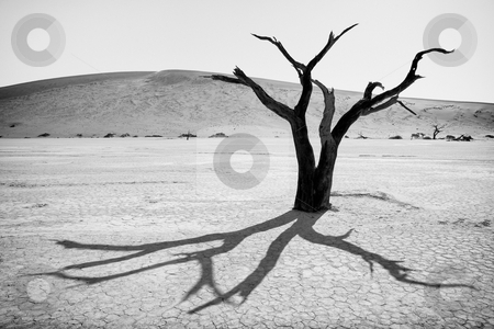 Dead Tree stock photo, Dead tree with backlighting and high contrast, black and white,  Namib Desert, Namibia, Africa by mdphot