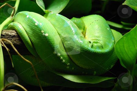 Green tree python stock photo,  by Sarka