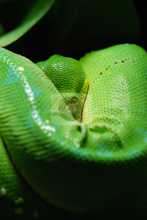 Green tree python stock photo, Green tree python in Prague zoo by Sarka