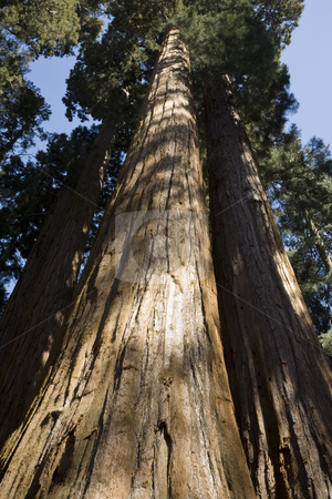 Giant Sequoias stock photo, Giant Sequoias, Sequoiadendron giganteum, Sequoia National Park, California, USA by mdphot