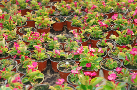 Wax begonia stock photo, Many pots with wax begonia in greenhouse. by Ivan Paunovic