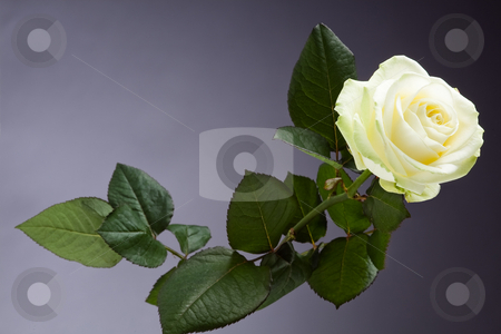 White rose stock photo, White rose picture taken in studio by Dirk Ercken