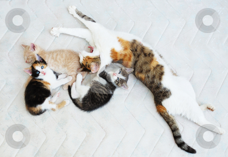 Cat family stock photo, Cat family with three kittens resting on the bed. by Ivan Paunovic