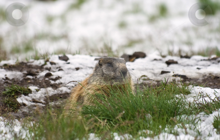 Marmot stock photo, Marmot in a snow covered meadow in Italian Alps by ANTONIO SCARPI