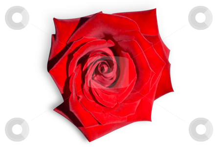 Red rose isolated on white. stock photo, Red rose isolated on white with clipping path. by Steve Carroll