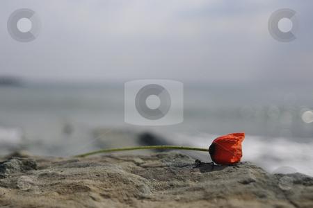 Red poppy stock photo, Red poppy near the sea by Dragos Iliescu