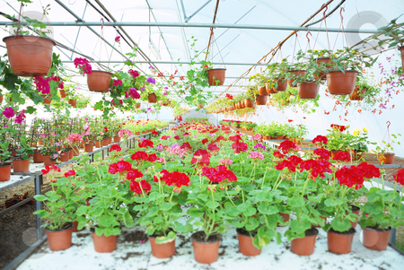 Greenhouse stock photo, Nylon covered greenhouse with geraniums and other plants. by Ivan Paunovic