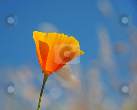 California poppy - Eschscholzia californica stock photo, California poppy (Eschscholzia californica) with blue sky background by Denis Radovanovic