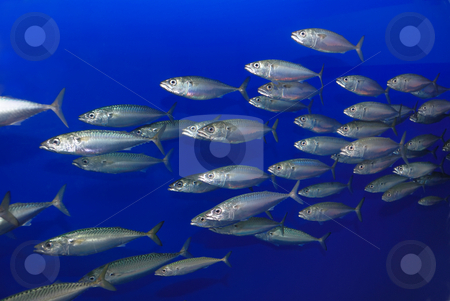School of Sardines stock photo, School of sardines swimming with blue background. by Denis Radovanovic