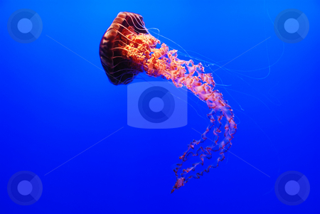 Sea Nettle Jellyfish - Chrysaora fuscescens stock photo, A sea nettle jellyfish - Chrysaora fuscescens on blue background by Denis Radovanovic