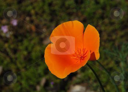 California poppy - Eschscholzia californica stock photo, California poppy (Eschscholzia californica) with blurry green background by Denis Radovanovic